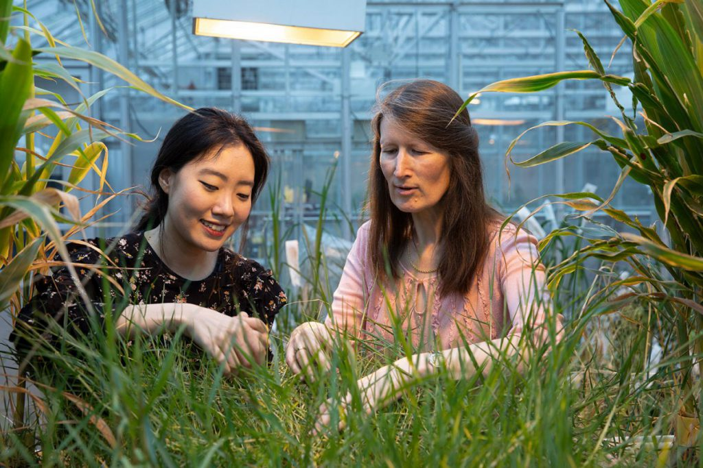 Professor Katrien Devos with graduate student, working with Pearl millet, a type of grass, in the greenhouse
